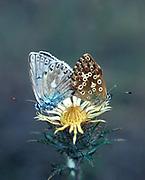 Chalk Hill Blue Butterfly, Lysandra coridon, pair mating, male female