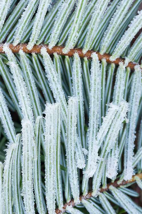 Grand fir needles (Abies grandis) with frost, overcast light, December, Clallam County, Olympic Peninsula, Washington, USA