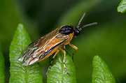 Close-up of a large rose sawfly (Arge pagana) resting on a bracken frond in a Norfolk wood margin in summer