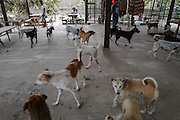 Rescued dogs roam about the covered patio area of the Yangon Animal Shelter.