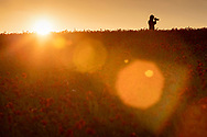 A woman takes photos a field of poppies near Goodwood, West Sussex as the sun sets.<br /> Picture date Thursday 24th June, 2021.<br /> Picture by Christopher Ison. Contact +447544 044177 chris@christopherison.com
