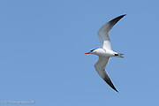 A Caspian tern flied directly over head show its blood red bill and black outer primaries.