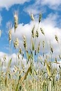 Wheat on summer sky