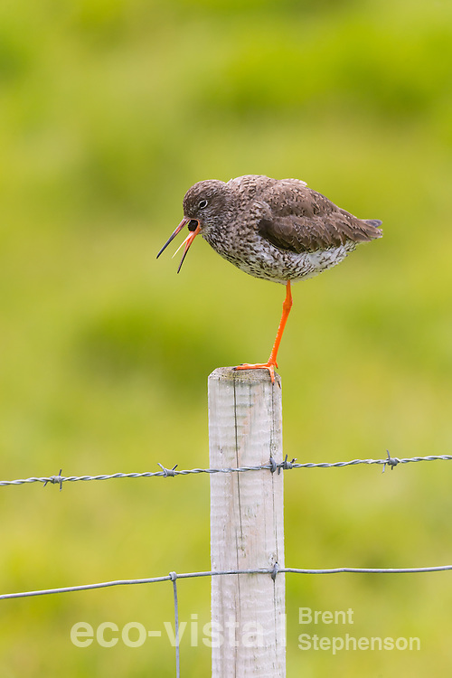 Adult common redshank (Tringa totanus) perched on top of a fence post whilst regurgitating a pellet of indigestible food material. This pellet is formed from the indigestible parts of prey items the bird has eaten. Flatey, West Fjords, Iceland. July.