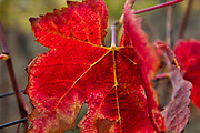 Red autumn vine leaves, Lagrasse, Langadoc Region, France.
