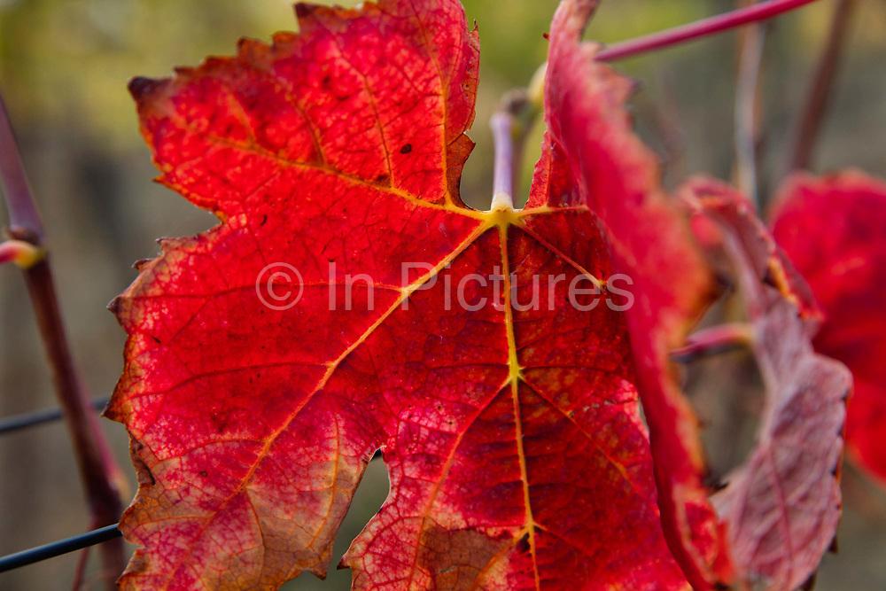 Red autumn vine leaves, Lagrasse, Langadoc Region, France.