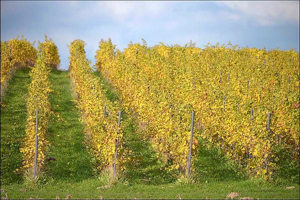 Nederland, Groesbeek, 29-10-2015Velden op een mooie dag in de herfst rond een wijngaard in het heuvelachtige landschap. Mooie gele rode en oranje herftskleuren.FOTO: FLIP FRANSSEN/ HH