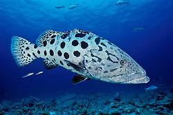Ever curious, a large Potato Cod, Epinephelus tukula, poses for a portrait.  Andaman Sea.