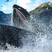 Sometimes the cooperative feeding group would surface unexpectedly. If the sea was calm and there were plenty of seabirds around to help me to track the whales then it was easier, but if it was more difficult to see the bubbles on the surface or there were distracting sounds of boat engines in the vicinity then anything could happen, and on this occasion the whales exploded out of the water right behind me and I barely had enough time to swivel around to take a photo.