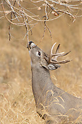 A young whitetail buck in autumn habitat