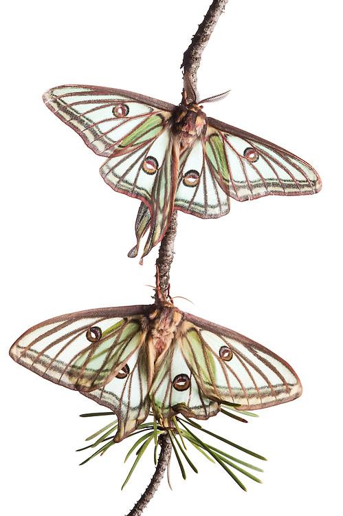 Male and female Isabelline moths, Spanish luna moth, Graellsia isabellina,  Queyras, France, Europe