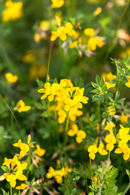 Birds Foot Trefoil - Birdfoot - Lotus corniculatus, perennial wildflower in garden in England