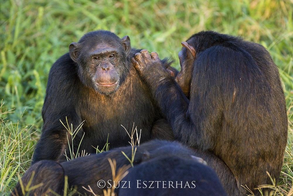 Chimpanzee<br /> Pan troglodytes<br /> Social grooming<br /> Ngamba Island Chimpanzee Sanctuary<br /> *Captive