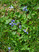 Image of Viola (a.k.a. Violet) taken in a yard in Fitchburg, Wisconsin, USA.