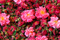 Maroc - Haut Atlas - Vallée du Dadès - Vallée des Roses - Récolte et sechage des Roses