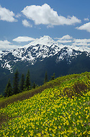 Mount Baker seen from Goat Mountain, North Cascades Washington. Yellow Avalanche Lilies (Erythronium grandiflorum) are in the foreground)