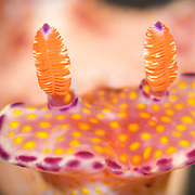 Front-on view of Ceratosoma tenue nudibranch. Super macro photograph taken at 4x life-size magnification. Lembeh Strait, North Sulawesi, Indonesia.