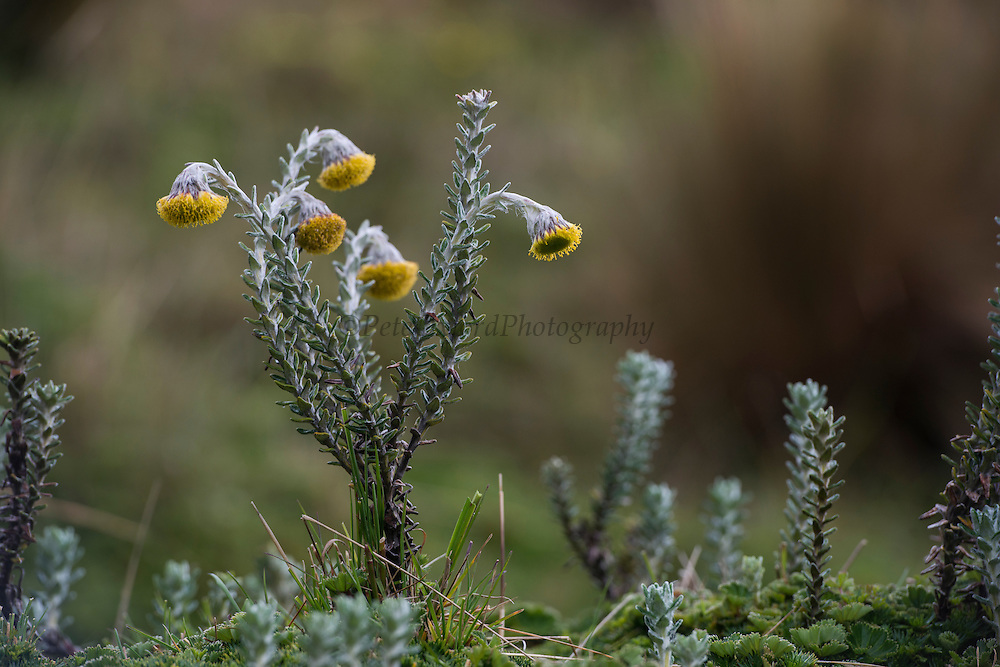Andean flower (Lasiocephalus ovatus)<br /> Antisana Ecological Reserve<br /> Cordillera Real, Andes<br /> ECUADOR, South America