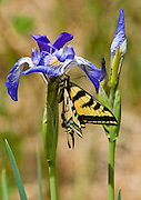 Swallowtail butterfly among the Iris at a Big Pine Creek Meadow.