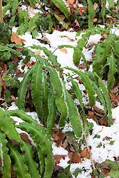 Hart's tongue fern, Asplenium scolopendrium, in snow