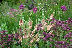 Astrantia' Glebe Cottage Crimson', Verbascum chaixii 'Cotswold Beauty' and Papaver somniferum (opium poppy) at Glebe Cottage