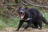 Tasmanian Devil Conservation