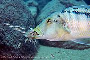 A female Buccochromis heterotaenia, one of the largest predatory cichlids in Lake Malawi, guards and mouthbroods her fry on a deep reef near Makulawe, Likoma Island, Lake Malawi, Malawi, Africa.