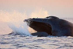 Humpback Whale in competitive group, displaying aggresssive jaw-clapping head lunge, note baleen visible, Megaptera novaeangliae, Hawaii, Pacific Ocean.