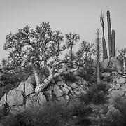 Desert flora. Catavina, Baja California, Mexico<br /> Cardon cactus,boojum trees (Fouquieria sp), elephant trees (Pachycormus sp)(Bursera sp)