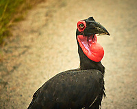 Southern Ground-Hornbill along road from Victoria Falls to Botswana. Image taken with a Nikon 1 V3 camera and  70-300 mm VR lens