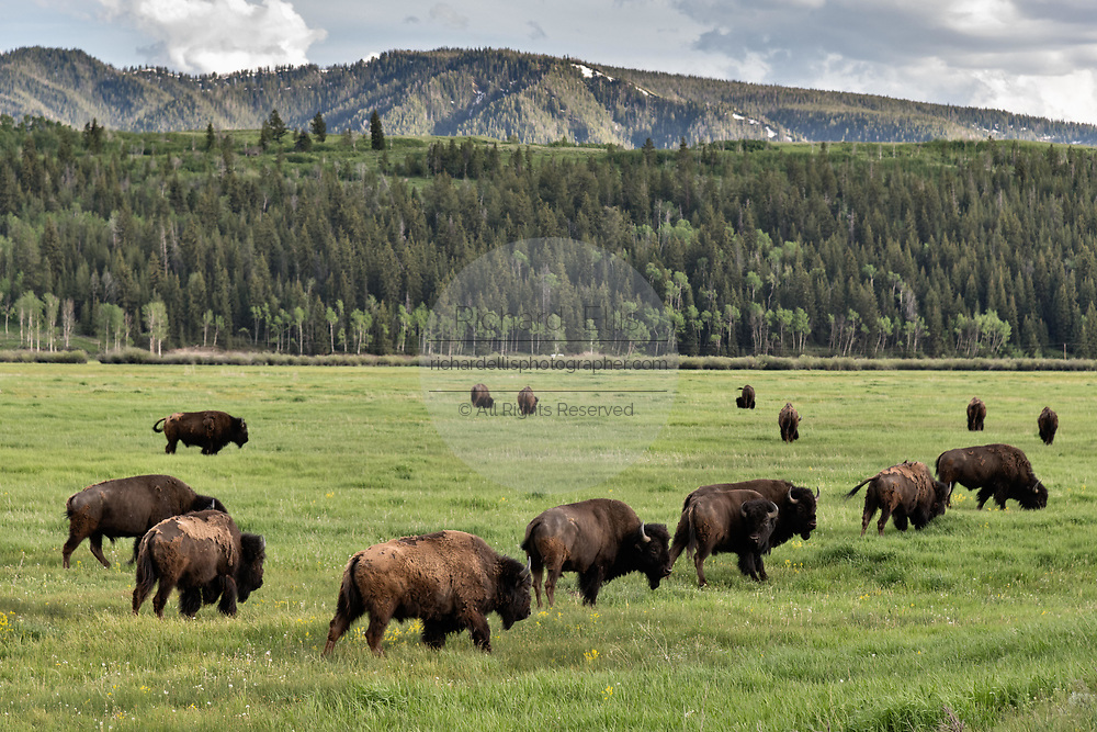 A herd of North American Bison graze in the grasslands along Elk Ranch Flats at the Grand Teton National Park in Moran, Wyoming.