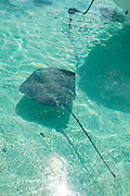 Sting Ray, Tiahura, Moorea, French Polynesia