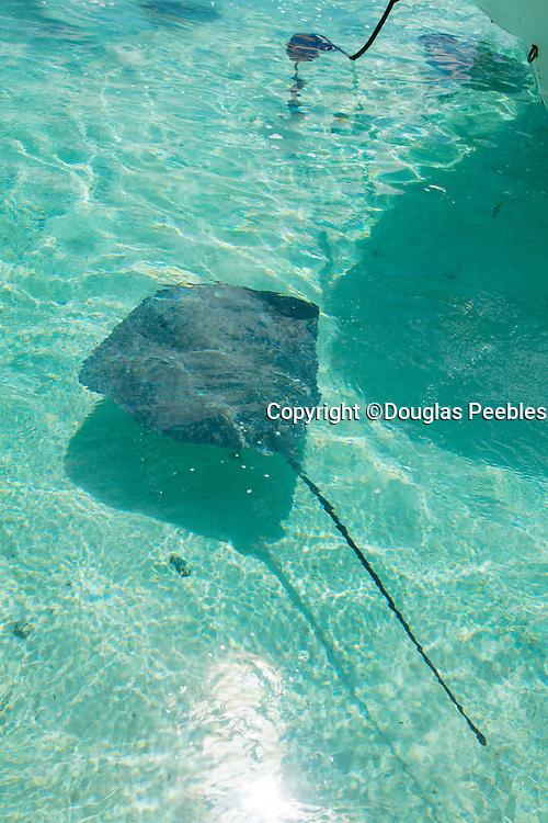 Sting Ray, Tiahura, Moorea, French Polynesia