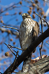 Among the bird world's most skillful fliers, Cooper's Hawks are common woodland hawks that tear through cluttered tree canopies in high speed pursuit of other birds. You're most likely to see one prowling above a forest edge or field using just a few stiff wingbeats followed by a glide. With their smaller lookalike, the Sharp-shinned Hawk, Cooper's Hawks make for famously tricky identifications. Both species are sometimes unwanted guests at bird feeders, looking for an easy meal