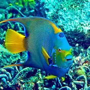 Queen Angelfish inhabit reefs and surrounding areas in Tropical West Atlantic; picture taken Tobago.