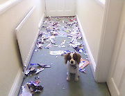 Now it's s*** my pets ruined! Animal lovers reveal the damage and destruction their beloved pets cause to their expensive property<br /> <br /> It is said there is nothing like the unconditional love only an adorable pet can give you - just try remembering that when you get home from work and find your home resembles a war zone.<br /> Hilarious images of torn up letters, chewed up furniture, ransacked gardens and graffitied windows have been collected and put together to form a website called S*** My Pets Ruined. <br /> Created in March 2010, the website updates regularly with new pictures of the chaos and destruction caused mainly by dogs and cats while their owners' backs are turned.<br /> And it is a moment almost every pet owner is only too familiar with - as Rover or Whiskers look up at you with those adorable eyes, innocently cocking their heads as if to say, 'What have I done?', you try to hold in your anger and rage as you survey the damage around you.<br /> ©Exclusivepix