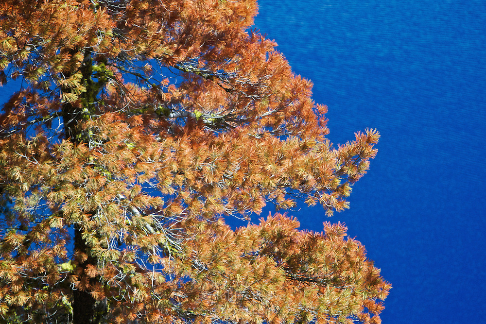 Brightly colored tree, with the rippled surface of Crater Lake in the background. Crater Lake National Park, Oregon.