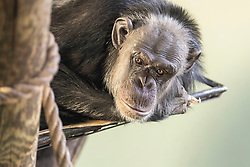 Chimpanzees relax in the sun at Edinburgh Zoo's Budungo Trail. The exhibit boasts a huge indoor-outdoor environment that can house up to 40 chimps.