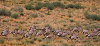 Kgalagadi Transfrontier Park, Western Cape South Africa - Augrabies, Xaus! lodge, Twee Rivieren, Bushmen A herd of eland antelopes (Oryx)