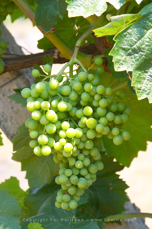 Grape bunch. Parellada grape variety (big leaves). Kantina Miqesia or Medaur winery, Koplik. Albania, Balkan, Europe.