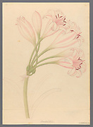 Amarillis [Crinum lineare] (1817) from a collection of ' Drawings of plants collected at Cape Town ' by Clemenz Heinrich, Wehdemann, 1762-1835 Collected and drawn in the Cape Colony, South Africa