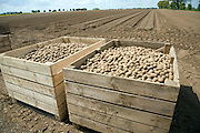 Crates of seed potatoes ready for planting in field, Hemley, Suffolk