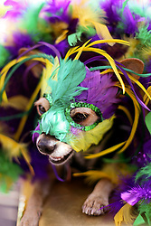 31 January 2016. New Orleans, Louisiana.<br /> Mardi Gras Dog Parade. A terrier in full feathered mask at the Mystic Krewe of Barkus as the parade winds its way around the French Quarter with dogs and their owners dressed up for this year's theme, 'From the Doghouse to the Whitehouse.' <br /> Photo©; Charlie Varley/varleypix.com