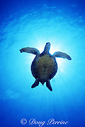 green sea turtle, Chelonia mydas, Turtle Pinnacles, Honokohau, Kona, Hawaii, United States ( Central Pacific Ocean )