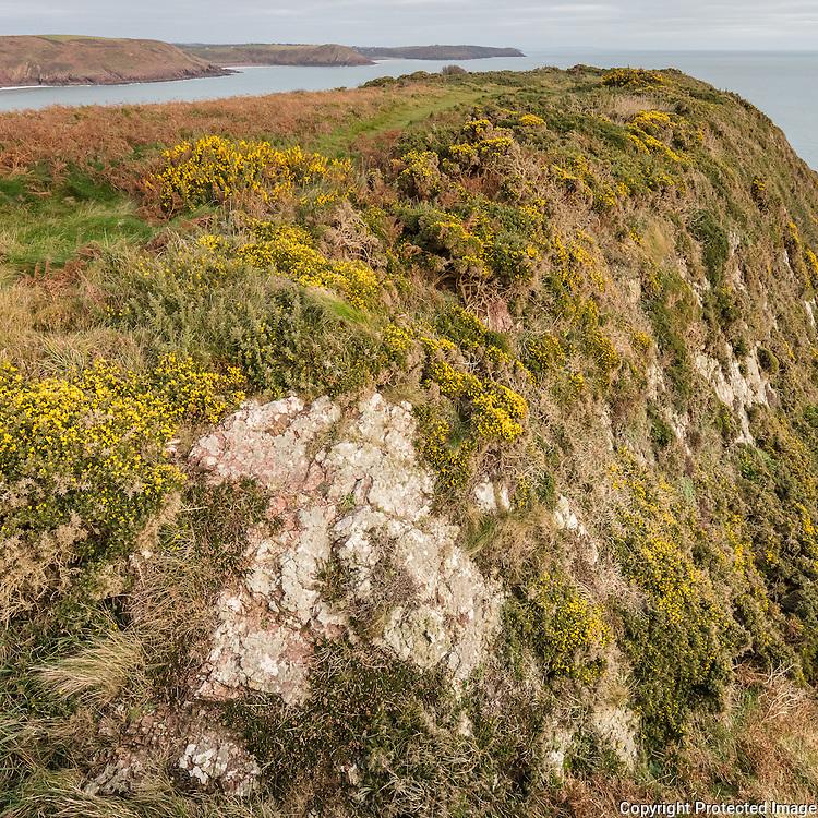 Gorse & Bracken, Trewent Point, Dyfed.