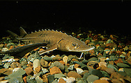 Lake Sturgeon<br />