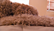 Abstract view of a goldendoodle dog sleeping. WATERMARKS WILL NOT APPEAR ON PRINTS OR LICENSED IMAGES.