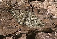 Willow Beauty - Peribatodes rhomboidaria