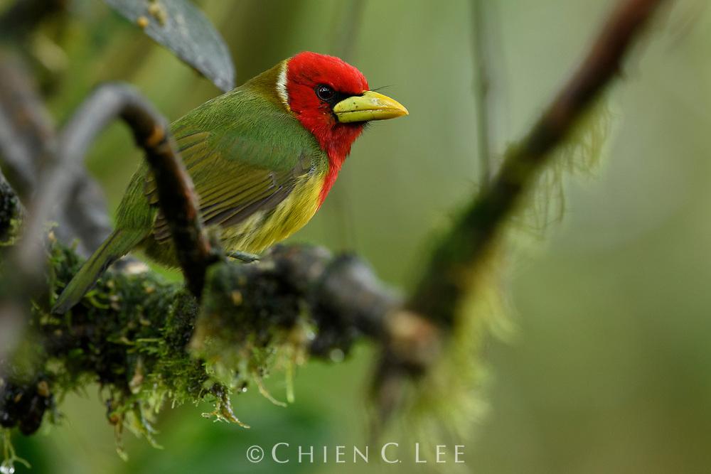 Red-headed Barbet (Eubucco bourcierii), male. Mindo, Ecuador.