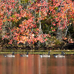Canada Geese and fall reflections in Upper Mill Pond at the Ewell Reservation in Rowley, Massachusetts